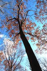 Quercus rubra (Red oak) 8197*A (smrozak) Tags: suzannemrozak 27nov2016 oakroute quercusrubra redoak 8197a
