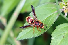 Potter Wasp View 2 (Kaptured by Kala) Tags: euodyneruspratensis potterwasp wasp bug insect whiterocklake dallastexas walkingpath spillway walkingpathabovethelowerspillway closeup