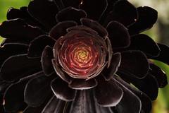 Dark Queen (MIP102) Tags: mip mipphotos camellia photography photographer photo nature lovenature flowers blackrose cactus botanicgarden sydney australia nsw bluemountain beauty black skywalker