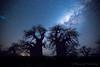 46-Botswana_2016 (Beverly Houwing) Tags: africa botswana desert islandoflostbaobabs kalahari mgadikgadipans saltpan night astrophotograhy sky stars milkyway galaxy wideangle silhouette tree baobab longexposure