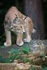 Lynx pic (Cloudtail the Snow Leopard) Tags: luchs wildpark pforzheim tier animal mammal säugetier katze cat feline lynx
