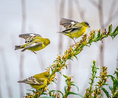 The Yellow Group. (Omygodtom) Tags: 1 2 3 wildlife wild outdoors bird sparrow breasted abstract animalplanet animal mountain am park pdx oregon nature nikon digital wow natural d7100 nikon70300mmvrlens urbunnature usgs