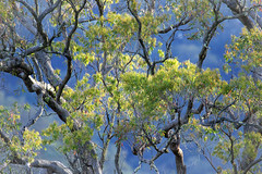 That light... (Jutta Sund) Tags: sunlight everning sky leaves gumtree australia light branch