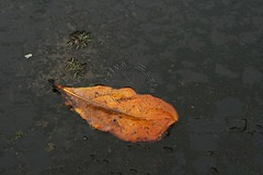 Solitária - Solitary (adelaidephotos) Tags: orange detail macro closeup puddle one leaf laranja uma only folha solitary poça detalhe única solitária mariaadelaidesilva