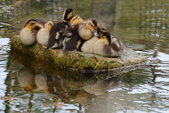 Baby Mallards (DaisyDeeM) Tags: baby cute nature water duck nest malard
