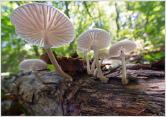 Mushrooms (Oudemansiella mucida) (mikhailomelko) Tags: