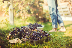 Harvesting Concord Grapes (Simply Vintagegirl) Tags: autumn plants green fruit garden vineyard purple cluster harvest vine september grapes produce concord picking concordgrapes