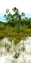 Everglades National Park (mgaoptic) Tags: world park parque nature fauna us flora natural florida wildlife south reserve southern national vida wetlands everglades tropical souther geology protection climate geographic ecosystem reserva clima geografia geologia vegetacion geological wildernes salvaje vidasalvaje geografico heretige