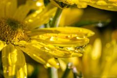 Yellow Blossom Drop III (boettcher.photography) Tags: oktober flower macro nature wet yellow blossom natur drop gelb droplet blume makro blte tropfen nass 2015 sashahasha boettcherphotography