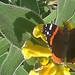 FlickrCover2-ButterflyOnJerusalemSage