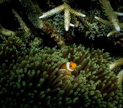False clown anemone fish (HongKongPhooey2009) Tags: ocean life blue sea fish water animal coral marine ray underwater nemo turtle dive shrimp scuba diving clam lizard clownfish anemone malaysia spotted nudibranch eel tuna reef perhentian moray mollusc jenkins trevally