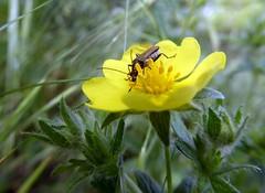gustosa coppetta alla crema (fotomie2009) Tags: insect coleoptera pollination insecta oedemera coleottero impollinazione