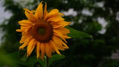 Sunflower (Davis Davisinski) Tags: sunflower flower a6000 sony