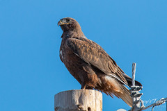 Dark Morph Ferruginous Hawk