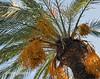Perruche mangeant une datte sur le port de Barcelone, Espagne (louis.labbez) Tags: fruit perruche bec espagne arbre palme oiseau catalan barcelone verte feuille aile repas catalogne datte datier labbez