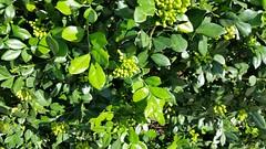 Murraya-paniculata_McCullyLime-Honolulu_Cutler_20151130_154657 (wlcutler) Tags: hawaii waikiki honolulu murraya murrayapaniculata