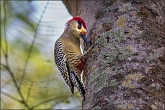 1216-  West Indian Woodpecker (canuckguyinadarkroom) Tags: