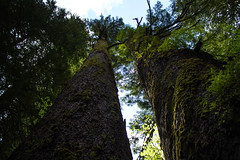 Twin Towers (Ken Cruz --- Fernweh) Tags: trees plant tree green nature up leaves giant outdoors nationalpark moss natural outdoor towers lookup bark olympia pacificnorthwest treebark washingtonstate upshot upinthesky