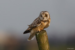 Velduil - Short-eared Owl - Asio flammeus -4832 (Theo Locher) Tags: netherlands birds nederland vogels vogel oiseaux shortearedowl asioflammeus sumpfohreule hiboudesmarais velduil copyrighttheolocher