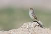 Tijeral Listado (ik_kil) Tags: chile birds altiplano putre avesdechile tijeral leptasthenura leptasthenurastriata streakedtitspinetail tijerallistado regióndearicayparinacota