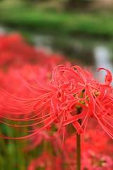 ✪五条川の川辺にて② -愛知県犬山市- (m-miki) Tags: nikon d610 japan 愛知 犬山 五条川 秋 花 彼岸花 flower autumn cluster amaryllis riverside
