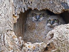 Great Horned Owlets (Brian E Kushner) Tags: greathornedowl great horned owl owlet bubovirginianus ephrata pa pennsylvania nikon d5 nikond5 animalsnaturewildlife brian e kushnernikon afs nikkor 800mm f56e fl ed vr lensnikonafsnikkor800mmf56efledvrlenstc800125e