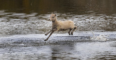 IN LEAPS AND BOUNDS (Sandy Stewart) Tags: leaping running water lambs rockybighornsheeplambs nature northamericanwildlife babies woolybabies actionwildlifeshots canada sandystewartphotography autumn fall