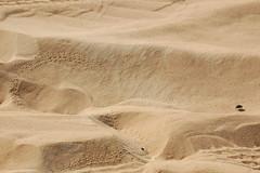 Egyptian Sahara Beetle (gilmorem76) Tags: egypt travel tourism nature beetle scarab sand