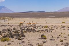 Vicuas soccer (fabioresti) Tags: vicuas vigogne vigogna soccer football calcio per 2016 canoneos80d sigma1770 chinitos patahuasi