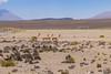 Vicuñas soccer (fabioresti) Tags: vicuñas vigogne vigogna soccer football calcio perù 2016 canoneos80d sigma1770 chinitos patahuasi