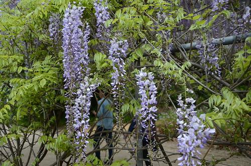 DSC_5894 purple wisteria, Adelaide Botanic Garden, South Australia