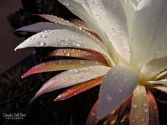 Fiore (Claudia Celli Simi) Tags: fiore flower natura nature petali stami polline gocce