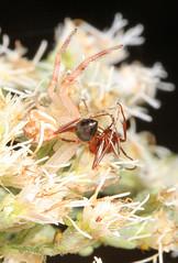 Arachtober 27 #5 - Northern Crab Spider - Mecaphesa asperata and prey, Julie Metz Wetlands, Woodbridge, Virginia (judygva) Tags: