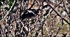 IMG_1901-croporphy (ryancarter2012) Tags: western orphean warbler menorca cala galdana