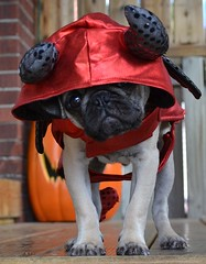 Boo The Devil Pug (DaPuglet) Tags: pug pugs dog dogs puppy puppies pet animal pets animals costume halloween devil cute funny