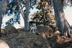 Golden Gate (Zee Jenkins) Tags: dog puppy terrier poodle mutt muted nature goldengatepark golden gate park sf san francisco