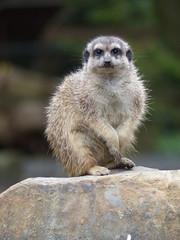 Erdmnnchen (Chriest) Tags: tierparkhamm erdmnnchen suricatasuricatta