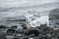 Eat my Bones (Pose Skeleton) Iceland 2016 - 034 (EatMyBones) Tags: bones iceberg iceland islande miniature nature poseskeleton rement skeleton toy travel