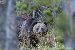 Grizzly, Ursus arctos (paolo.gislimberti) Tags: parchinazionali nationalparks grandteton mammals mammiferi carnivori flesheatinganimals animaliambientati animalsintheirenvironments bosco wood forest foresta