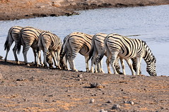 Quenching their thirst. (pstone646) Tags: zebra nature animals wildlife waterhole fauna herd namibia africa safari