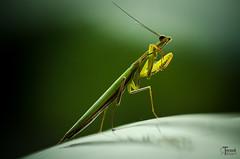 DSC_7097 (torzsokrobert) Tags: imádkozó sáska rovar insect
