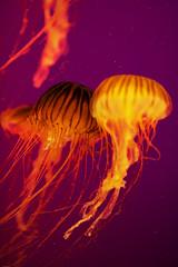 Soft Spot (Thomas Hawk) Tags: america chicago cnidaria cookcounty illinois johngsheddaquarium museumcampuschicago sheddaquarium usa unitedstates unitedstatesofamerica aquarium jellies jellyfish pink fav10