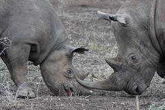 DSC00386 (Cyn Reynolds) Tags: blackrhino whiterhino zulunyala southafrica 2016 a77ii sooc
