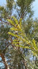 in bud (ClareSnow) Tags: flowerbud christmastree nuytsiafloribunda nuytsia remnantbushland bushland freewayreserve karnup perth australia spring