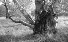 Birch-averse (Fray Bentos) Tags: birch tree treetrunk bole asahipentaxsp500 promicrol orwon74 ludwigmeritar