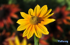 Sun In The Garden (Vidterry) Tags: rudbeckia