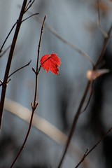 hello out there (courtney065) Tags: nikond200 landscapes nature flora leaves autumnleaves autumnlight fall autumn depthoffield serene branches red redleaf