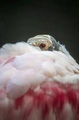Watchful Eye (Miles McNamee) Tags: animal zoo bird eye dczoo