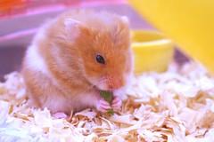 Mi sarasin 🎀 (ALLYOUCANDOISLIVE) Tags: amor mascota pet chile little animal hamster