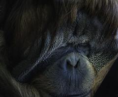 Orangutan Portrait (Bill Gracey) Tags: orangutan portrait nature animalportrait sandiegozoo sandiego pongo satu